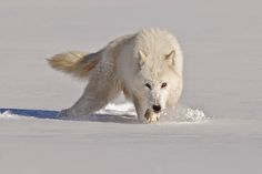 Alaska is where the majority of the wild Arctic Wolves live.   No other wolf in the world can offer the same coloring as the Arctic Wolf. It...