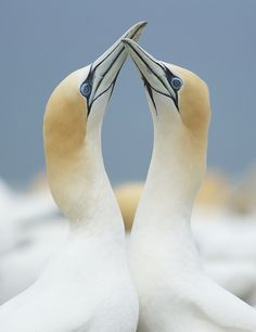"IPA 2012   Entry Title: "" Australasian Gannets""  Name: Evan McBride, New Zealand  Category: Non-Professional, Wildlife"