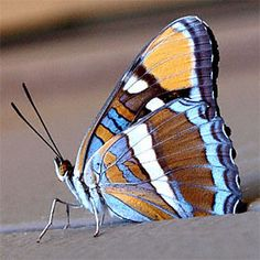 California Sister (adelpha californicus) without a doubt my favorite butterfly-- and thus, the best butterfly.