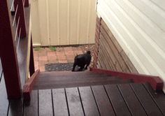This pug walks just like Pepe Le Pew!