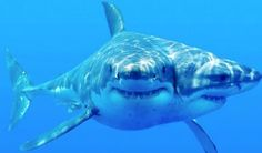 Two-headed shark, this rare specimen was found near of the Florida Keys!!! Double trouble