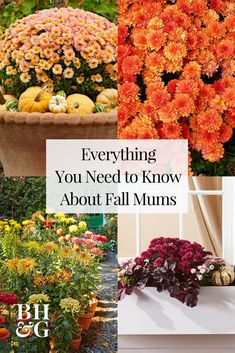 Mums are a classic fall flower that can be planted in containers for decorative purposes or in a garden as a hardy perennial. Perennial mums have the best chance of surviving winter if they are plante Garden Mum, Garden Care, Autumn Garden, Flowers Garden, Fall Planting Flowers, Mum Planters, Garden Planters, Hardy Mums, Potted Mums