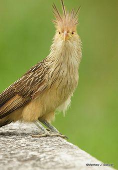 Guira Cuckoo <3