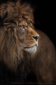 Big Cats: Amazing shots by Ashley Vincent - Animal Stories Beautiful Cats, Animals Beautiful, Animals And Pets, Cute Animals, Animal Gato, Le Roi Lion, Lion Of Judah, Lion Art, Majestic Animals