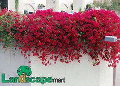 Bougainvillea- would be beautiful in a window box or in a large planter mounted on the fence