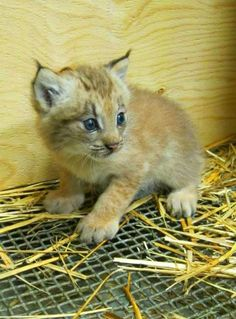 This lynx kitten was born at the Montreal Biodome in late May of 2012.