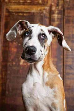 Great daneeeeee