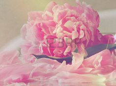pink peony flower and petals with paint effect