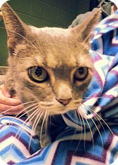 Prattville, AL - Domestic Shorthair. Meet Gracie 19475 a Cat for Adoption.