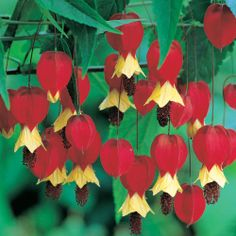 25 Red Yellow Bleeding Heart Seeds Dicentra Spectabilis Shade Flower Garden Perennial Bush Hardy Romance Ornamental Exotic Tropical Plant by ToadstoolSeeds on Etsy Perennial Bushes, Hardy Perennials, Flowers Perennials, Planting Flowers, Perennial Plant, Shade Flowers, Love Flowers, Beautiful Flowers, Exotic Plants