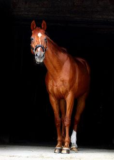 A beautiful chestnut horse., oh how I want to ride bareback right now through a forest. All The Pretty Horses, Beautiful Horses, Animals Beautiful, Cute Animals, My Horse, Horse Love, Horse Riding, All About Horses, Horse Quotes