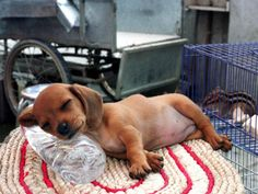 A two-month-old puppy takes a nap on a bottle of cold water to cool off from the summer heat in Beijing, Monday, July 29, 2002. Summer temperatures in the capital often reach the high 30s degree Celsius, leading to humans and animals seeking innovative ways of cooling off. (AP Photo/Str)