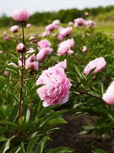 field of pink peonies © Nicole Franzen Beautiful Flowers Garden, May Flowers, Growing Flowers, Beautiful Gardens, Wild Flowers, Planting Flowers, Pink Peonies, Peony, Diy Wedding Inspiration