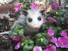 Possum in Purple Flowers - Squee daily at these cute animals and the absolute cutest animal pics and gifs ever known to man. Cute Baby Animals, Animals And Pets, Animal Babies, Beautiful Creatures, Animals Beautiful, Baby Opossum, Tier Fotos, Pet Birds, Mammals