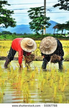 thailand farmers  straw hats | Thai Farmer, farmer , agriculture , cultivate - stock photo