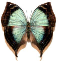 Kallima Ansorgei Butterflies