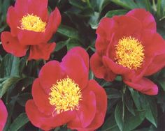 Peony America - Early Hybrid, single, red, brilliant scarlet cups with a fluffy yellow stamens, mild fragrant, strong stems, dark green foliage, American Peony Society Gold Medal 1992, Award of Landscape Merit 2009, (Nathan Rudolph 1976). www.peonyshop.com