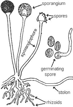 Asexual reproduction of fungi: sporophores