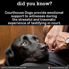 did-you-kno:  Courthouse Dogs Foundation is a non-profit organization that provides technical assistance and training for agencies that want to establish a best practices program for utilizing a dog to provide emotional support to people in legal proceedings.    These facility dogs are trained for over two years to do a variety of tasks in high-stress situations, and provide a calming presence to those who must relive a traumatic experience on the witness stand, or testify in front of…