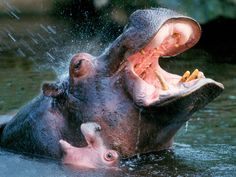 The hippopotamus (Hippopotamus amphibius), or hippo.  Despite their physical resemblance to pigs and other terrestrial even-toed ungulates, their closest living relatives are cetaceans (whales, porpoises, etc.) from which they diverged about 55 million years ago.  and baby