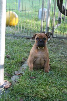 Continental Bulldog, Pit Dog, Bulldog Breeds, Bully Dog, Old English Bulldog, 12 Weeks, Boxers, Animals And Pets, Pitbulls