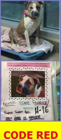 LOUISE (A1811728) I am a spayed female white and brown brindle American Bulldog. The shelter staff think I am about 2 years old and I weigh 58 pounds. I was confiscated and I may be available for adoption. — Miami Dade Animal Services Pet Adoption and Protection Center. https://www.facebook.com/urgentdogsofmiami/photos/a.1067105343323868.1073742077.191859757515102/1421493207885078/?type=3&theater