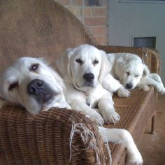 Cushion destroyed. No ottoman, but w those faces....how can I get mad.   #good memories.  We left them for 2 hours & this is what happened. No stress.... Out retrievers. (momma @ 2 pups)