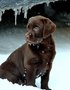 This Chocolate Lab Puppy looks like he could use a jacket!