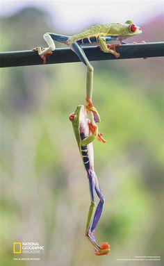 La extrema elasticidad y potencia de esta rana arborícola le permite realizar saltos de hasta un metro y medio de longitud.