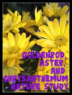 Handbook of Nature Study: Outdoor Hour Challenge - Goldenrod, Aster, and Chrysanthemum Nature Study. This challenge comes with a free printable autumn garden nursery field trip mini-book.