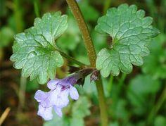 popenec břečťanovitý (syn. břečťanolistý, obecný) (Glechoma hederacea)