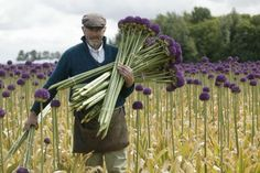 growing alliums - Google Search