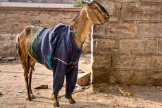 And wearing the latest in fall fashion......this stylish goat in Jodhpur, India's 'blue city'.