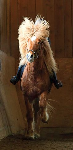 Breed: Icelandic Horse