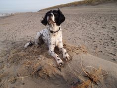 Our 6 year old English Setter on the beach.