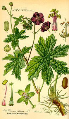 G. phaeum from Otto Wilhelm Thomé's - Flora von Deutschl (1) | Flickr - Photo Sharing!