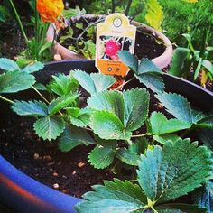 On To Edible Container Gardening #DigIn #Ad