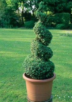 Tvarovanie drevín: Zlepšite ich nožnicami Topiary Plants, Buxus, Fountain, Yard, Landscape, Outdoor Decor, Nature, Home Decor, Gardening