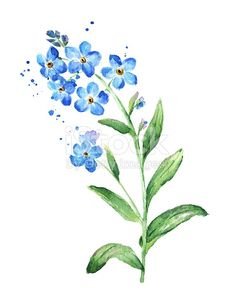 Forget Me Not Flower, Watercolor