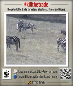 Zebras - News - Bubblews