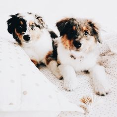 The most precious Australian shepherd Cute Puppies, Cute Dogs, Dogs And Puppies, Doggies, Aussie Puppies, Funny Dogs, Animals And Pets, Baby Animals, Cute Animals