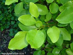 Griselinia littoralis - broadleaf; H to 15m Plant Guide, Tropical Garden, Native Plants, Plant Leaves, Exotic, Landscaping, Trees, House Design, Gardening