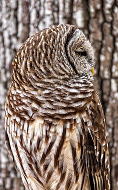 From Florida Birds Collection by artist Dawn Currie -   A Barred owl blending into his background. Photographed in Sebastian Florida. #birdwatching