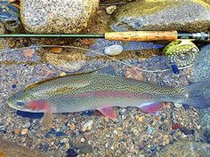 Rainbow trout my first catch on fly.