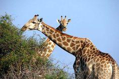 giraffen - Google zoeken