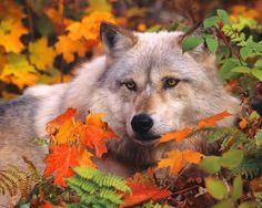Wolf laying down in leaves.