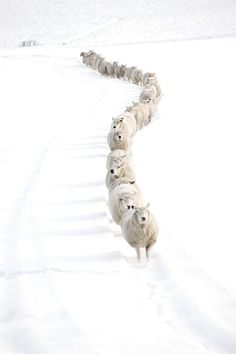 Winter landscape line of sheep curved to horizon on snow. I Love Snow, Winter Love, Wool And The Gang, Farm Animals, Cute Animals, All Gods Creatures, Shades Of White, My Favorite Color, Pet Birds
