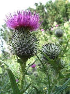 Leaf Flowers, Unique Flowers, All Flowers, Spring Flowers, Flower Pots, Beautiful Flowers, Scotch Image, Scotland National Flower, Scottish Symbols