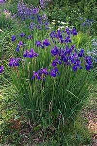 siberian iris - put these in beside my sweet pea trellis. siberian iris - put these in beside my swe Garden Arbor, Garden Plants, Garden Landscaping, Amazing Gardens, Beautiful Gardens, Beautiful Flowers, Blue Garden, Dream Garden, Wicken