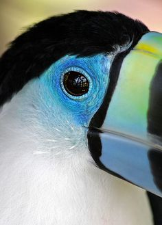 TUCAN - What lovely blue colors. My favorite!